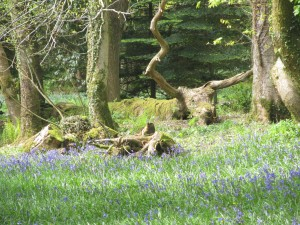 Bluebell woods and fallen trees
