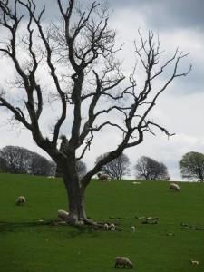 Sky, tree and sheep